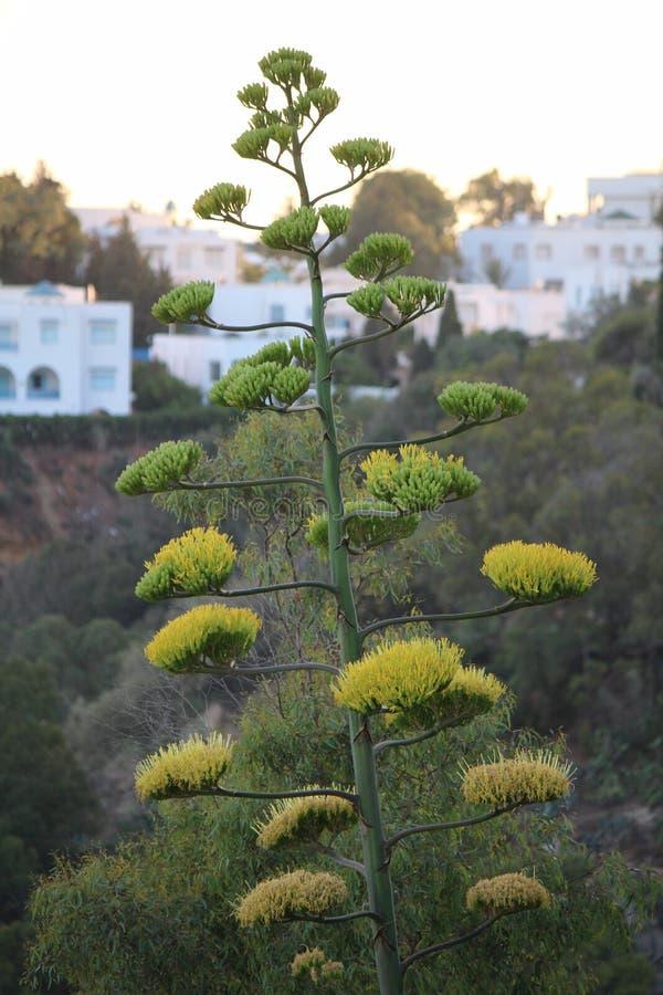 Una planta del agavo en la floración en Túnez fotografía de archivo