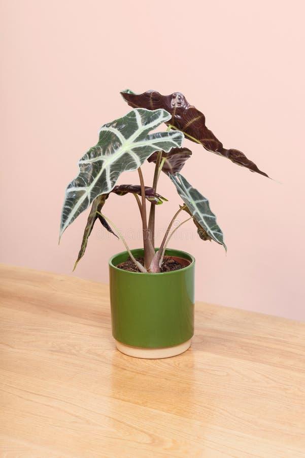 Una planta del Alocasia en un pote verde foto de archivo