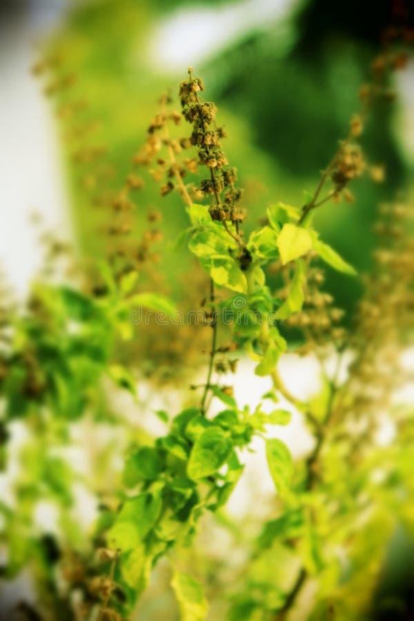 Una planta llena del tulsi del color imagen de archivo libre de regalías