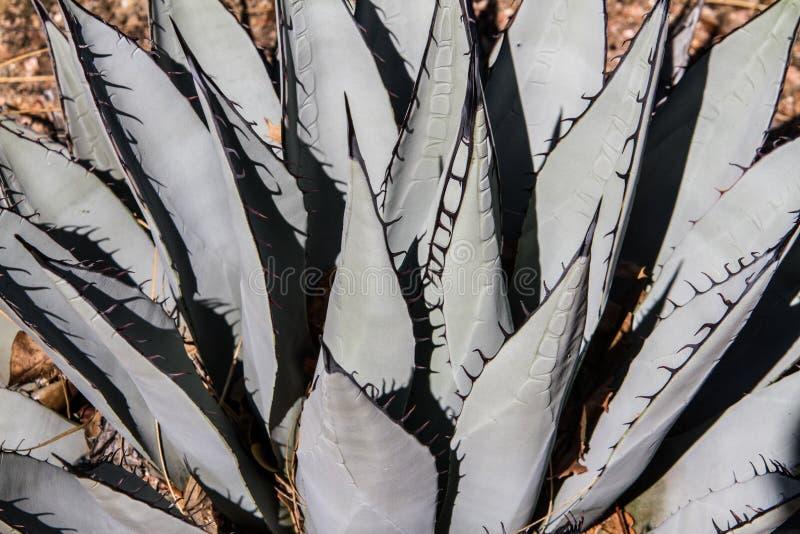 Una planta muy grande del agavo imagen de archivo
