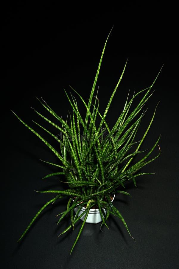 Una planta suculenta imagenes de archivo