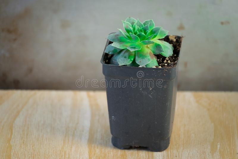Una planta suculenta verde en envase en conserva imágenes de archivo libres de regalías