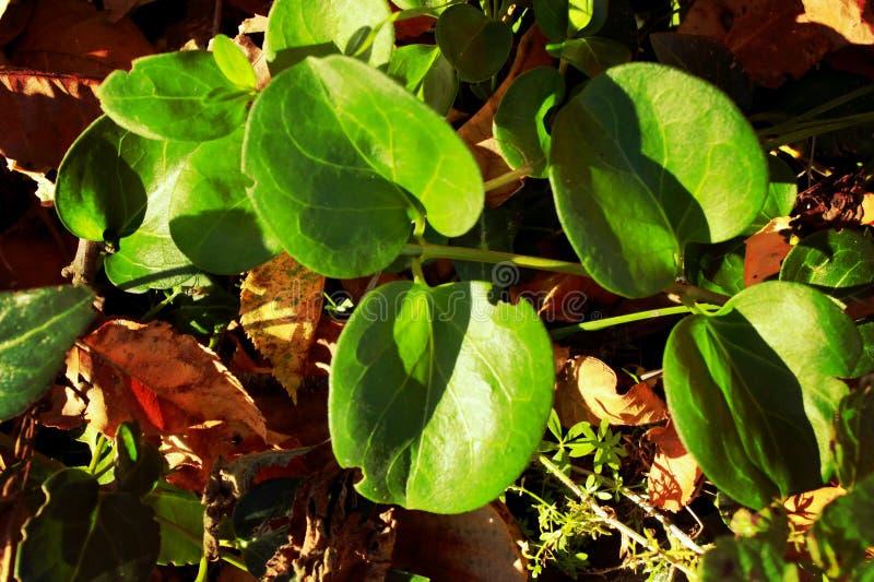 Una planta verde con las hojas redondeadas, un juego de la luz y sombra fotos de archivo libres de regalías