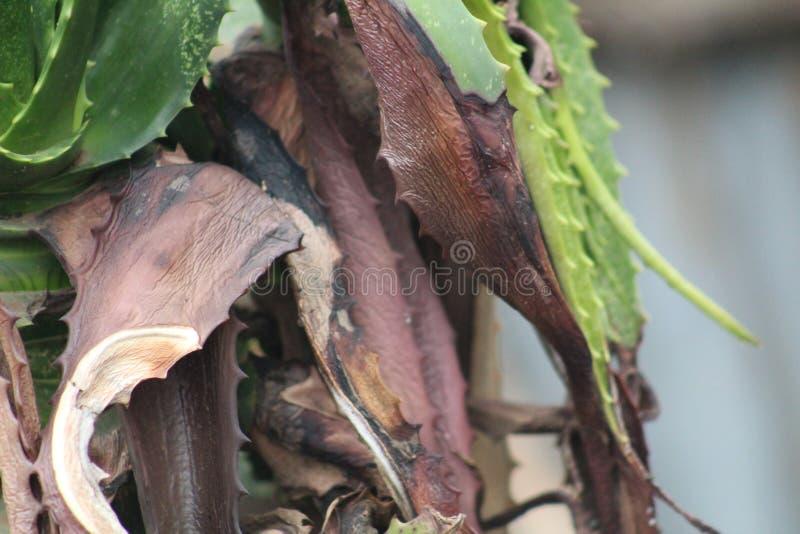 Una planta verde de Vera del ?loe con las hojas secas durante una estaci?n de verano fotografía de archivo libre de regalías