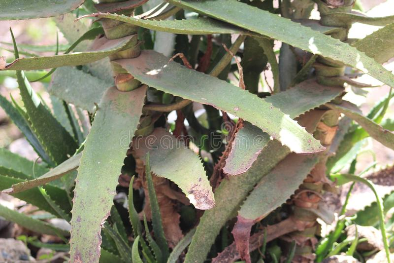 Una planta verde de Vera del ?loe durante una estaci?n de verano imagen de archivo libre de regalías