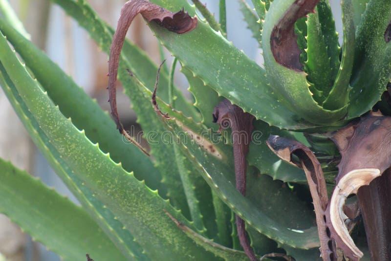 Una planta verde de Vera del ?loe durante una estaci?n de verano imagenes de archivo