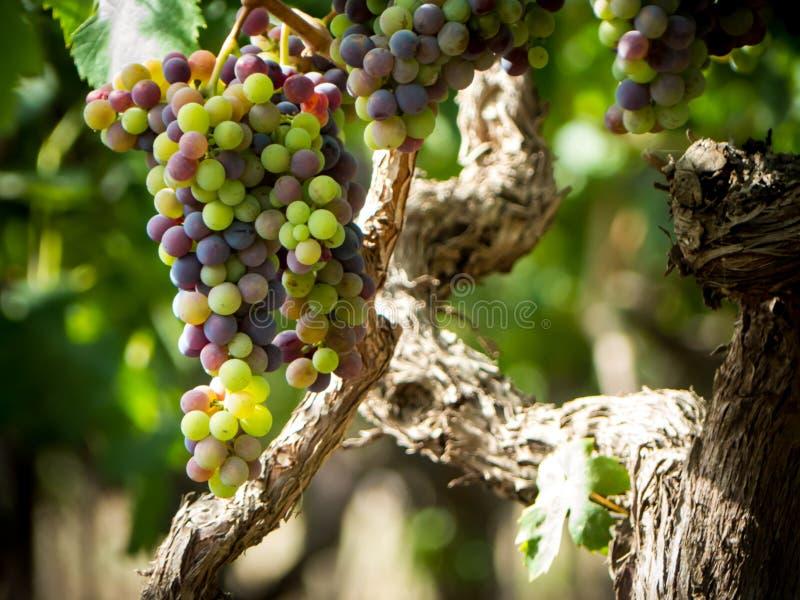 una plantación de la uva en pulsano, cerca de Taranto, en Italia foto de archivo
