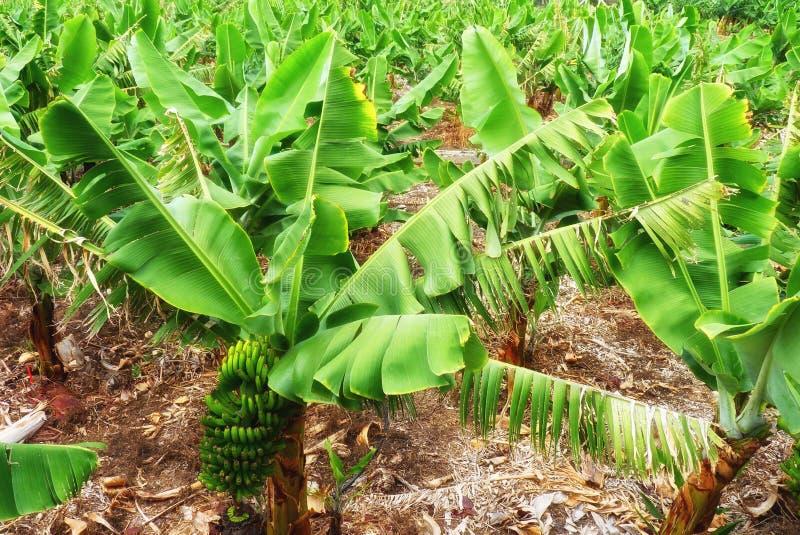 Una plantación de plátano fotografía de archivo
