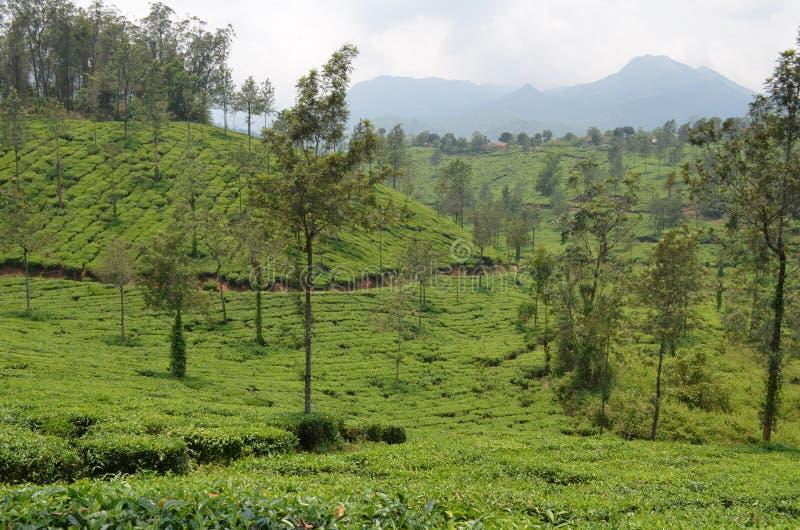 Una plantación de té. fotos de archivo