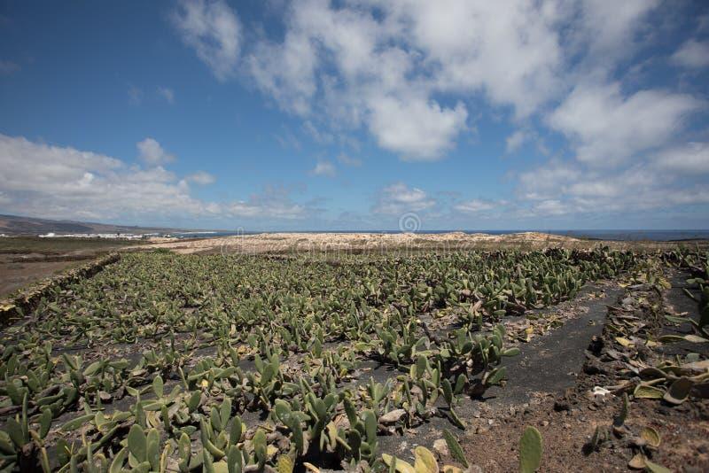 Una plantación grande e importante del cactus fotografía de archivo libre de regalías