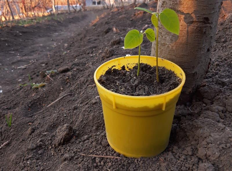 Una plantula germinata nel vaso giallo immagini stock