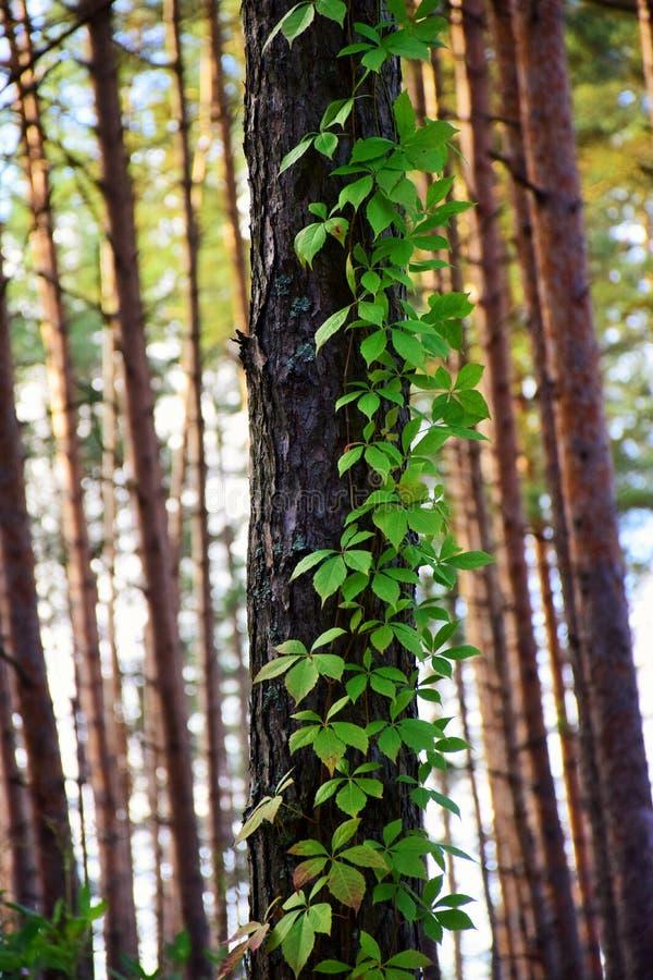 Una priorità alta del pino e Virginia Creeper che lo scalano fotografie stock
