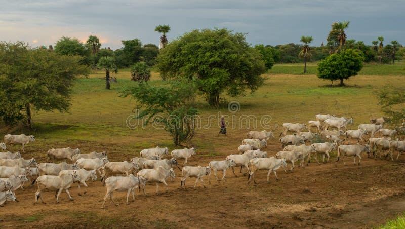 Una puesta del sol tranquila pac?fica con una manada del ganado n Myanmar del ceb? fotos de archivo libres de regalías