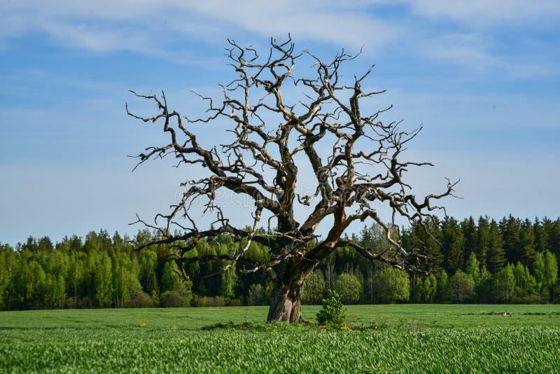 Una quercia morta da sola come scultura naturale in natura immagini stock libere da diritti