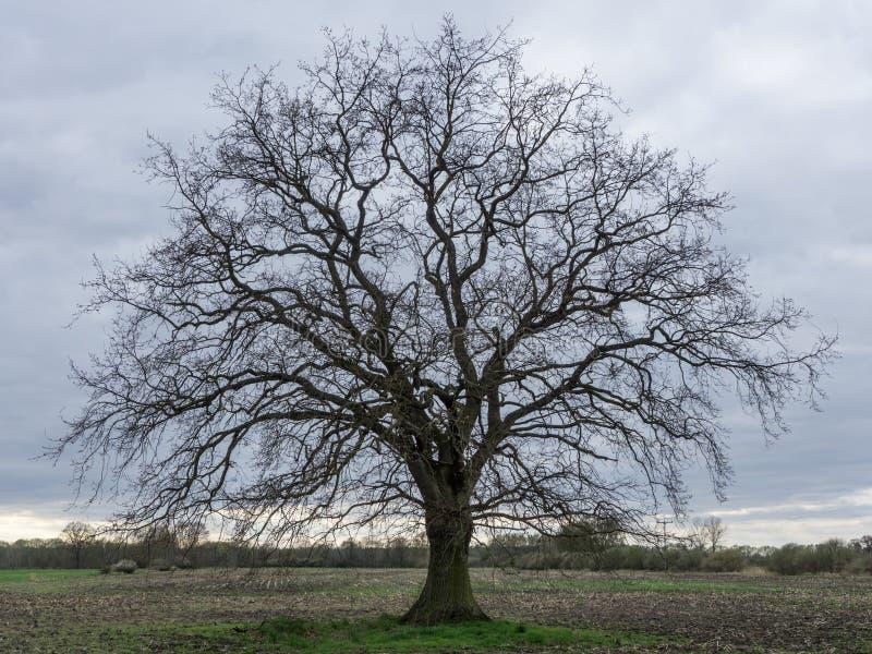 Una quercia senza foglie su un campo fotografie stock libere da diritti
