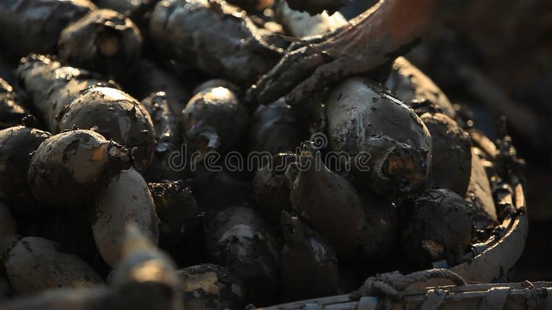 Una raíz del loto con fango del área de la producción fotos de archivo