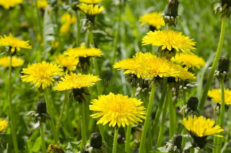 Una radura dei denti di leone gialli su un prato inglese verde nell'ambito dei raggi del sole immagini stock libere da diritti