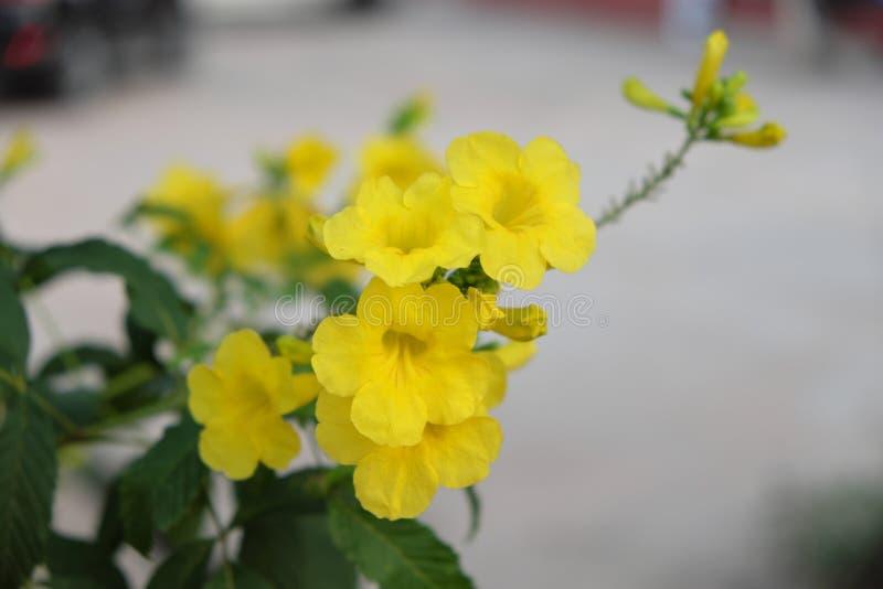 Una rama con la inflorescencia de flores amarillas hermosas Fondo enmascarado imagen de archivo libre de regalías