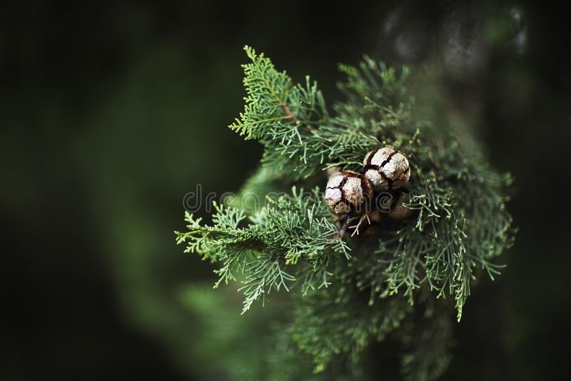 Una rama con las agujas suaves y primer de los conos en un fondo borroso verde oscuro imagen de archivo libre de regalías