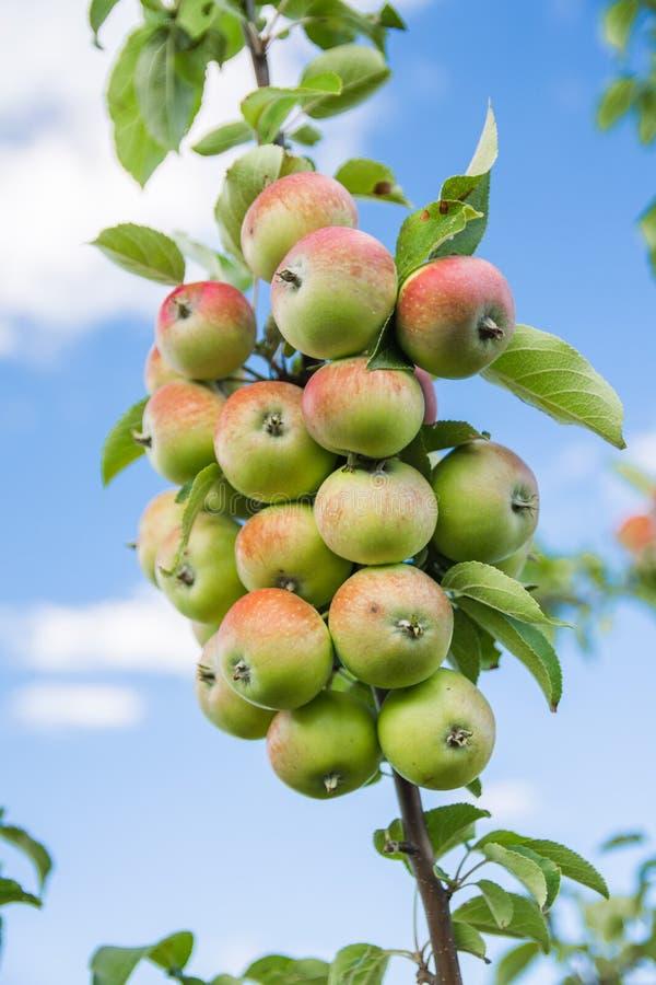 Una rama con más de veinte manzanas fotografía de archivo libre de regalías