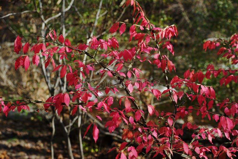 Una rama de árbol con follaje rojo brillante fotos de archivo