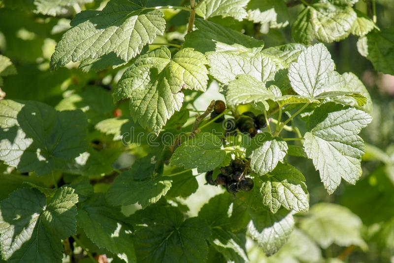 Una rama de la grosella negra con las hojas grandes en el jardín Primer foto de archivo