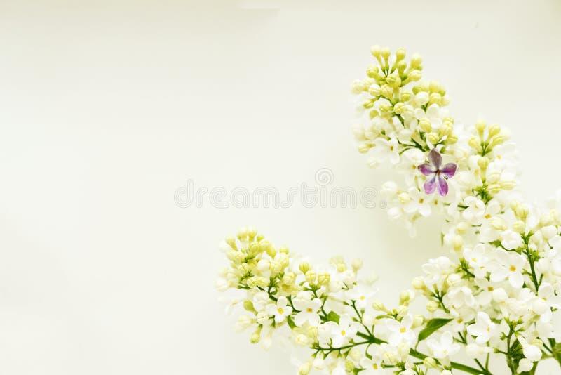 Una rama de la lila blanca en un fondo ligero, con una lila cinco-hojeada imagenes de archivo