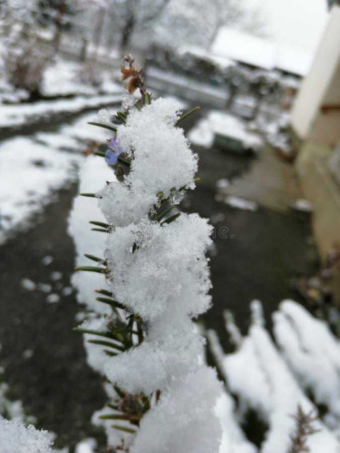 Una rama de la nieve de la lavanda imagen de archivo