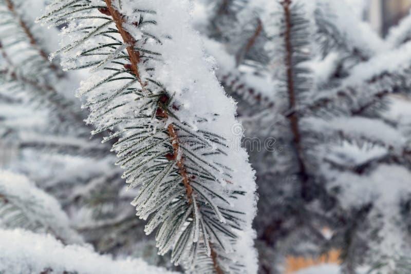 Una rama de la picea o del pino se cubre con nieve blanca mullida suave fotografía de archivo