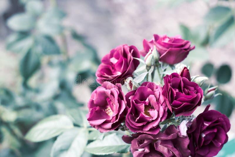 Una rama de rosas púrpuras en jardín verde en fondo natural borroso con el espacio de la copia fotografía de archivo libre de regalías