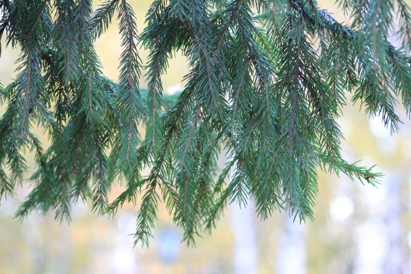 Una rama de un árbol de navidad imagenes de archivo