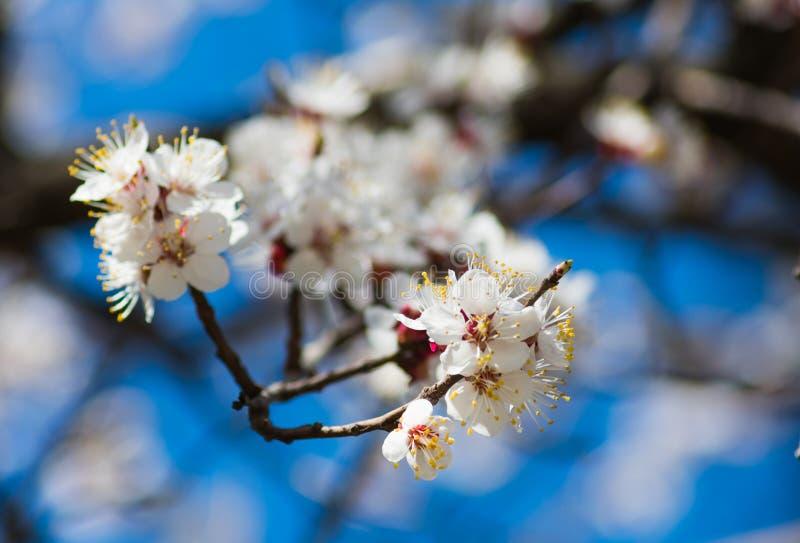 Una rama de un albaricoquero con las flores blancas florecientes se cierra para arriba contra un cielo azul y otras ramas en defo imagen de archivo