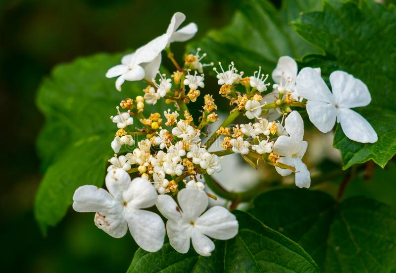 Una rama de un arbusto con una inflorescencia blanca cuya parte está comenzando ya a secarse imágenes de archivo libres de regalías