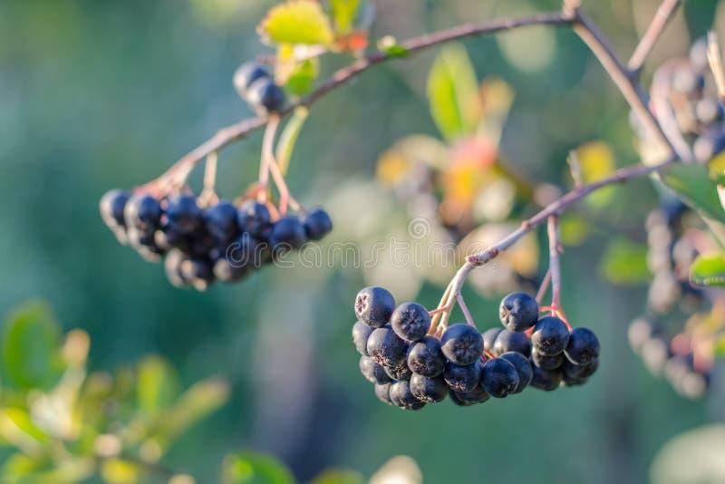 Una rama del chokeberry Oto?o fotos de archivo