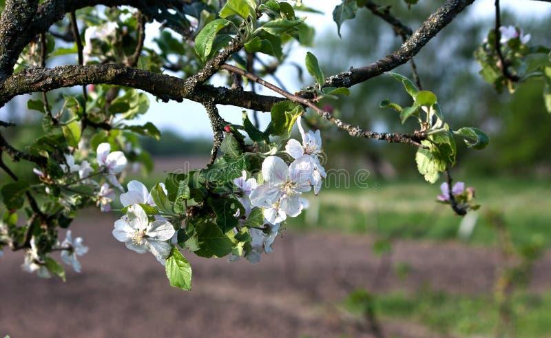 Una rama del manzano floreciente en primavera imagen de archivo libre de regalías