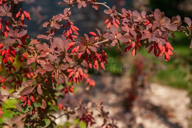 Una rama hermosa del bérbero maduro en un día del otoño contra la perspectiva del follaje del otoño Contexto para el humor del ot imágenes de archivo libres de regalías