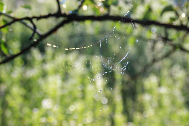 Una rama mojada de un manzano y una web fina con descensos de rocío foto de archivo