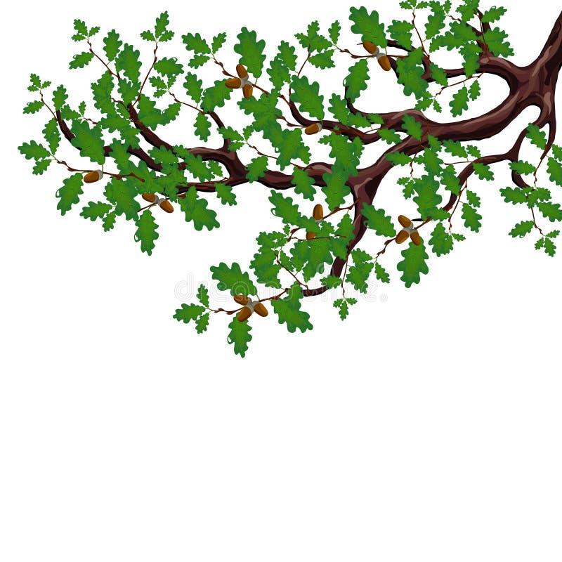 Una rama verde de un roble grande con las bellotas Dibujo volumétrico sin una malla y una pendiente Aislado en blanco ilustración del vector