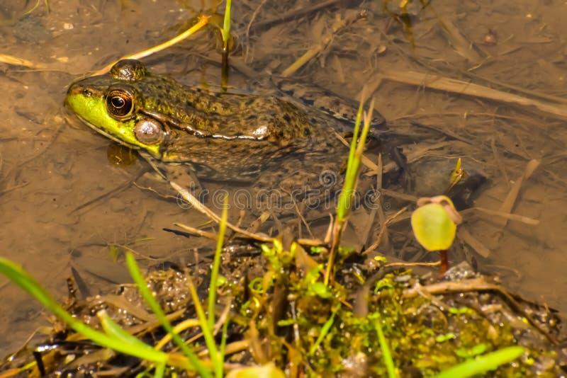 Una rana in acqua immagine stock libera da diritti