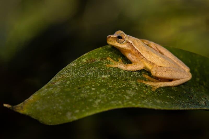 Una rana arbórea amarilla en una hoja imagen de archivo libre de regalías