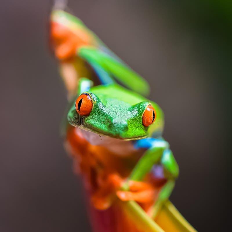 Una rana arbórea de ojos enrojecidos, rana divertida foto de archivo