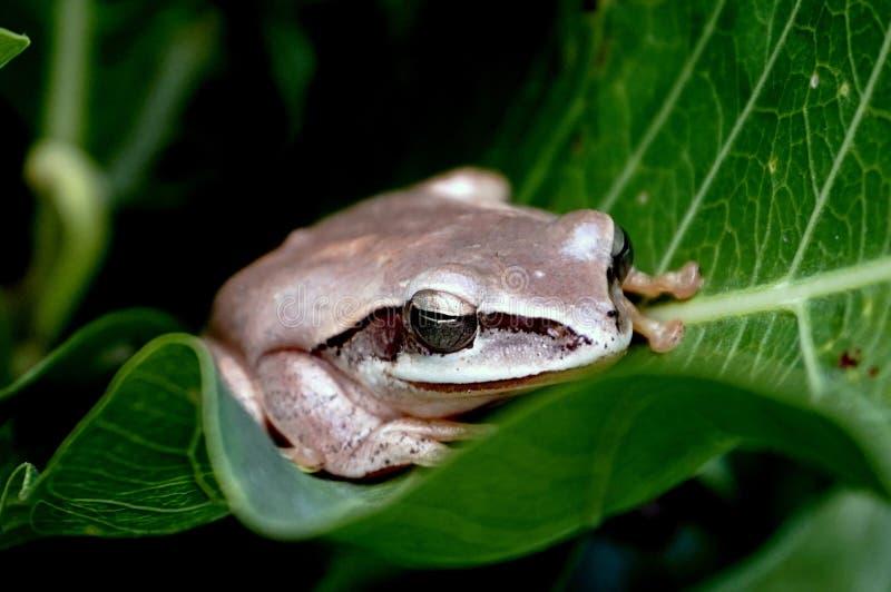 Una rana arbórea en el guiño cuarenta imagenes de archivo
