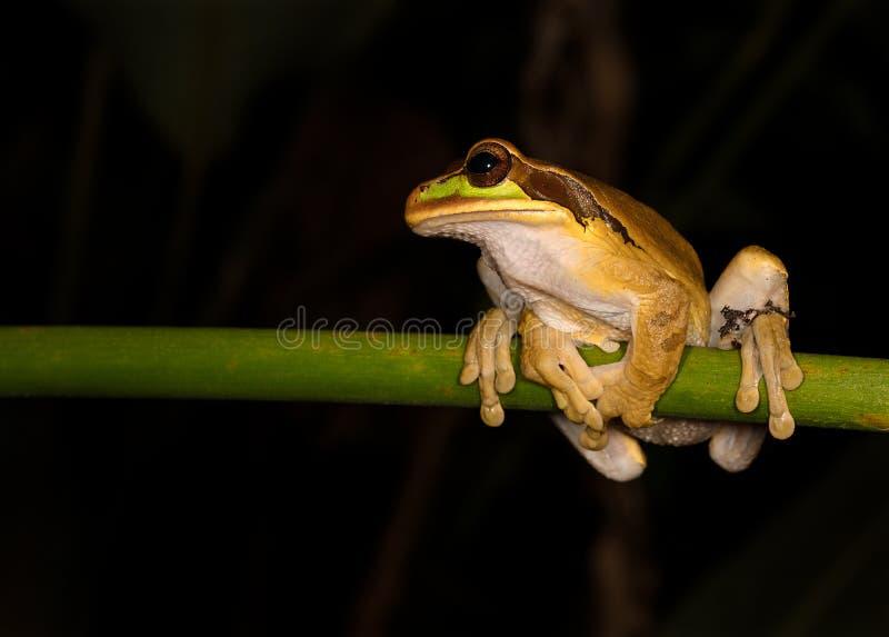 Una rana arbórea enmascarada en una rama fotos de archivo libres de regalías