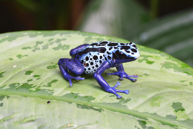 Una rana azul del dardo del veneno en una hoja fotos de archivo libres de regalías