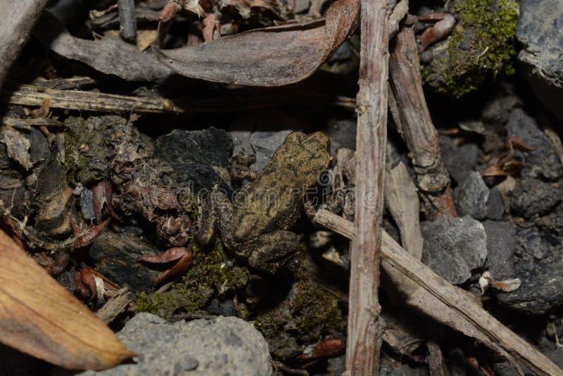 Una rana cammuffata del bambino fotografie stock