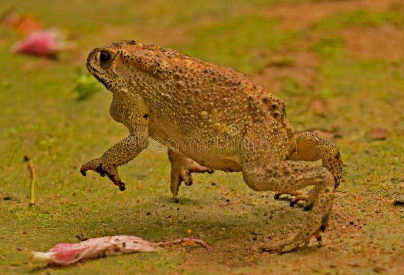 Una rana che inizia un salto immagine stock libera da diritti