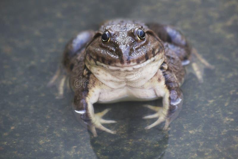 Una rana commestibile verde, anche conosciuta come la rana comune dell'acqua, si siede su legno Le rane commestibili sono ibridi  fotografia stock