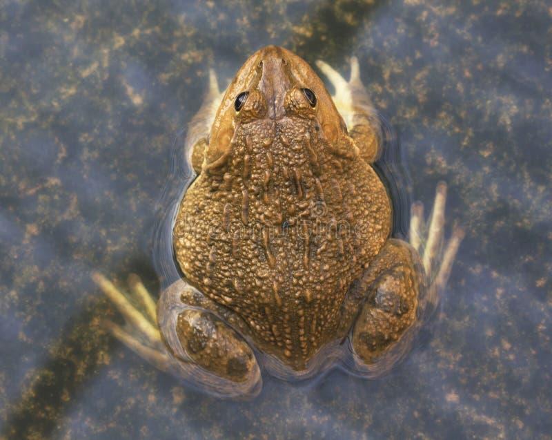 Una rana commestibile verde, anche conosciuta come la rana comune dell'acqua, si siede su legno Le rane commestibili sono ibridi  fotografie stock libere da diritti