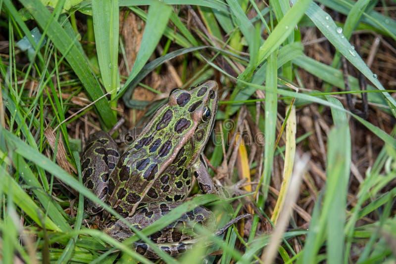 Una rana de leopardo septentrional se sienta en la hierba verde imagenes de archivo