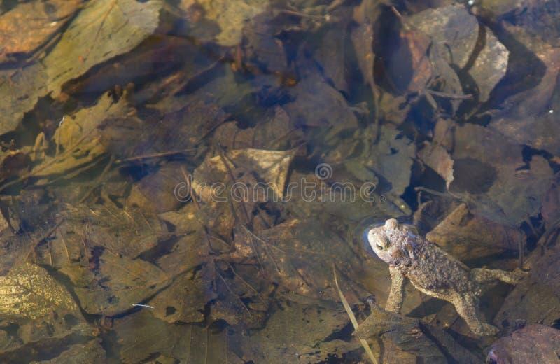Una rana en el río de la primavera imagen de archivo